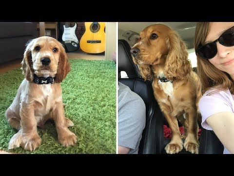 Alfie From Puppy to 2 Years Old - English Cocker Spaniel