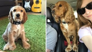 Alfie From Puppy to 2 Years Old  English Cocker Spaniel