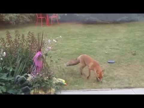 Fuchs Im Garten Youtube