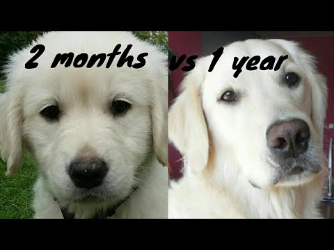 MY GOLDEN RETRIEVER GROWING UP! (2 months-1 year)