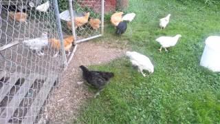 Chickens running around