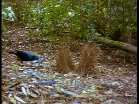Satin Bowerbird part 1