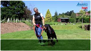 Non Pull Training Your Dog With The HALTI Harness