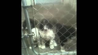 Standard Parti Poodles For Sale,