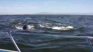whales charging boat