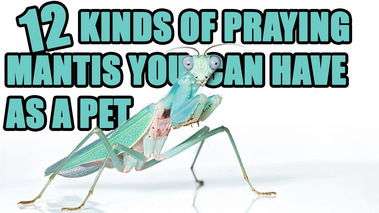 12 Praying Mantis You Can Have as a Pet  - How To Care for a Pet Mantis