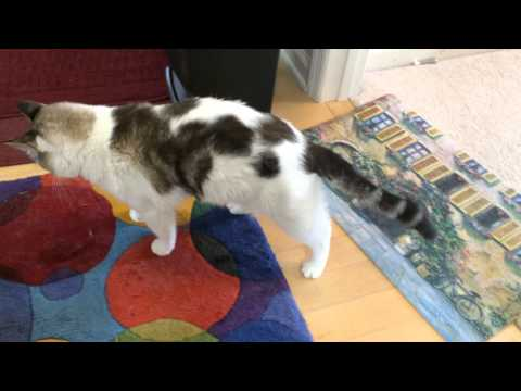 Cat falling over, losing balance (new video) (neurologic disease)