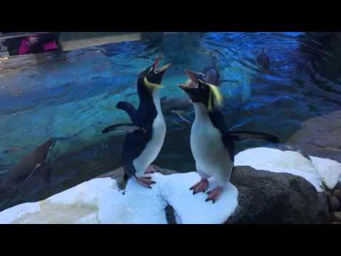Hilarious Rockhopper penguins getting noisy!