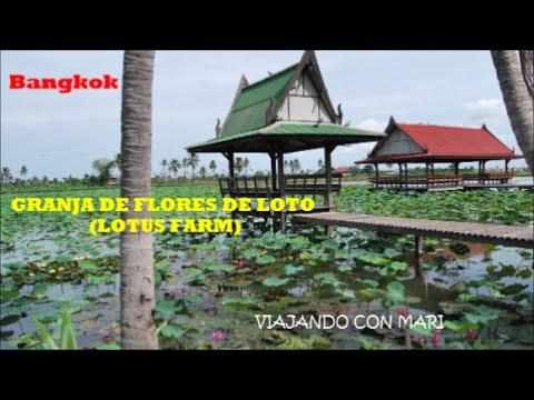 Descubriendo Bangkok hacia una granja de flores de loto, Lotus farm