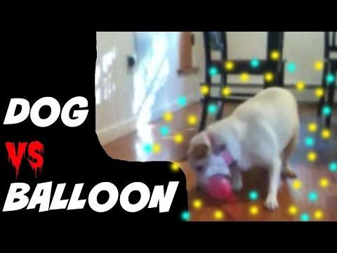 My Dog VS Rocket Balloon