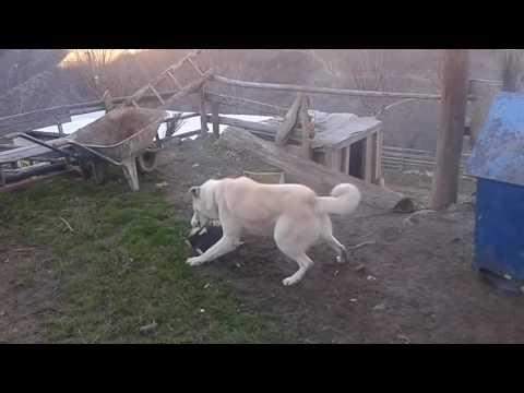 Köpek horoz kavgası (Köpek Horoz Köpek)