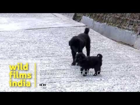 Himalayan Sheep dogs or Bhutia puppies playing in the Himalaya