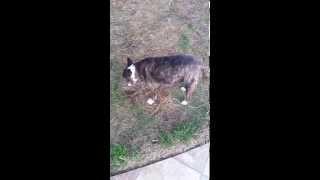 Bull Terrier On Raw Meat Chicken Diet