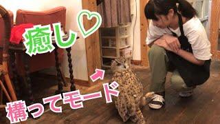 構って欲しいフクロウ!猛禽類も甘える!【I want the owl! Birds of prey are also amenable!】