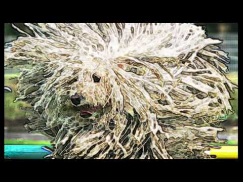 Bergamasco Shepherd Brief History of Breed of Dog lovers dogs facts origins background sheep dog