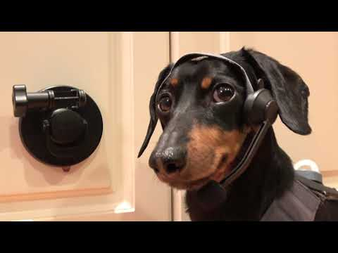 Crusoe Dachshund Outsmarts Furbo Dog Camera (Almost)