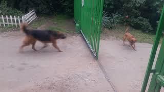 Perros valientes peleando en portón