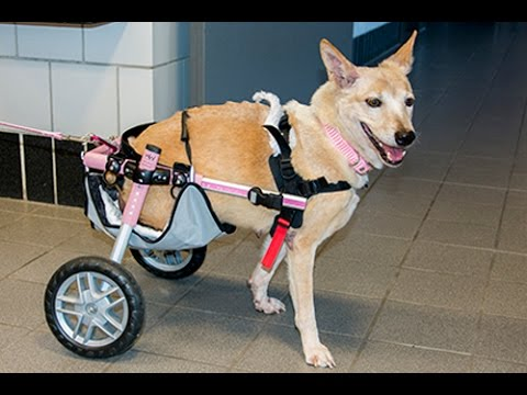 Cornell clinicians give two-legged dog new lease on life ...