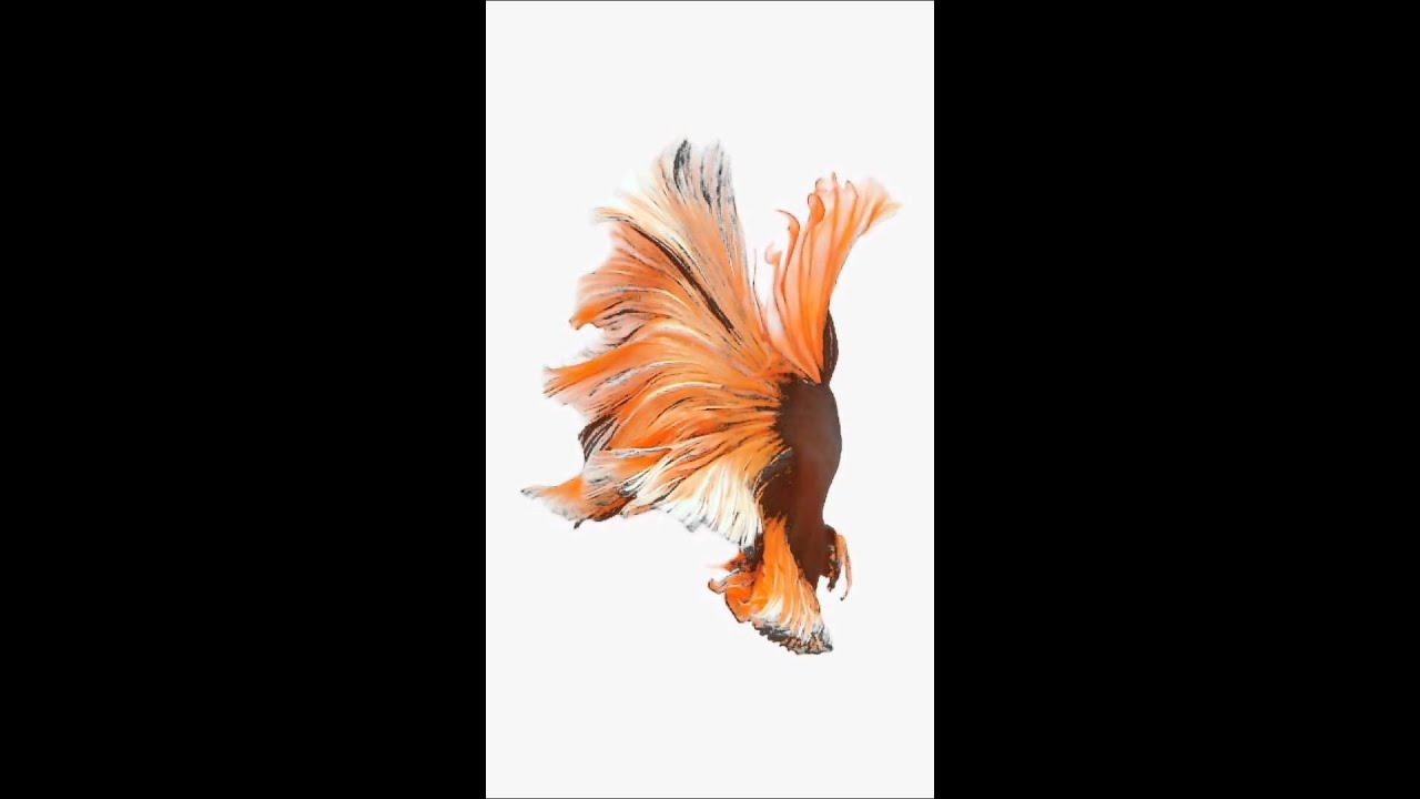 Live wallpaper iOS 9 - Orange fish - YouTube