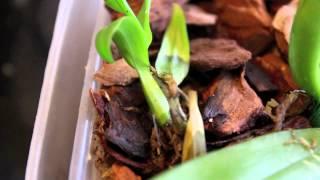 Growing Orchid Seedlings - Episode 1