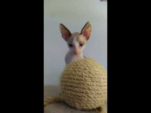 Cornish Rex Kittens cuties beautys! evening!
