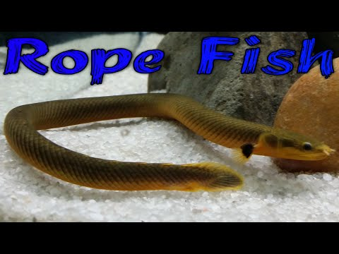 Rope Fish