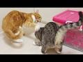funny cat scolding another cat / 【猫 おもしろ】猫が姉猫に叱られ続けている