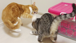 "the red tabby cat "" Chai "" was scolding the silver tabby cat "" Sush..."