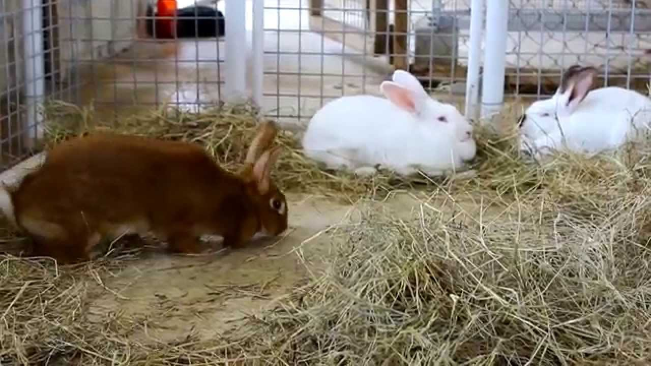 raising new zealand red rabbits in barbados youtube