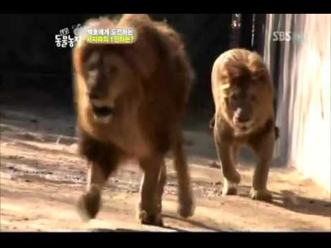 asiatic lion vs african lion (barbary) vs african lion (masai)