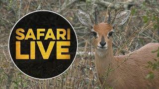safariLIVE - Sunrise Safari - July 11, 2018