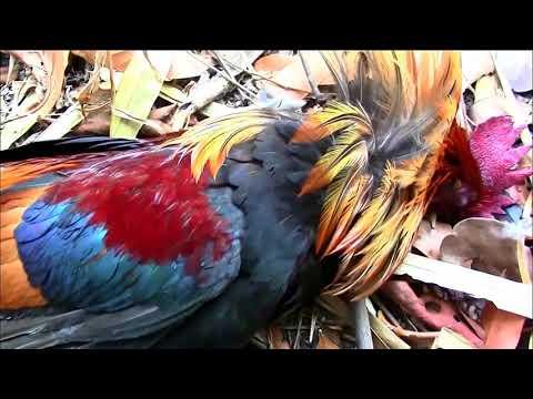 Hunting Biggest Bild Chicken