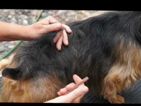 Australian Terrier Grooming, the Basics