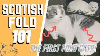 The Scottish Fold Cat 101 : Breed & Personality