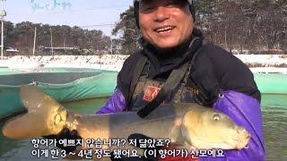 전북 김제사나이의 황토향어양식, 향어:물속의 돼지 [어…