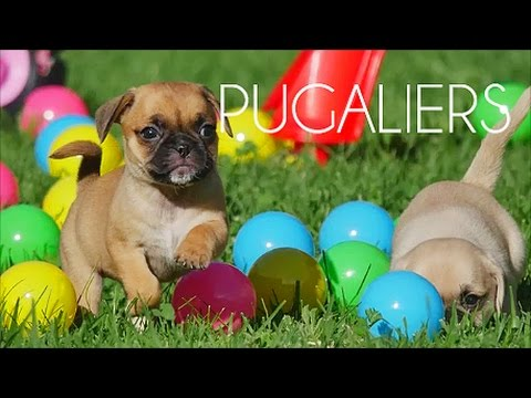 Pugalier puppies having fun