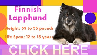 Dogs: Finnish Lapphund Breed Information And Personality