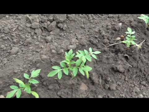 Безрассадные помидоры через месяц после посева