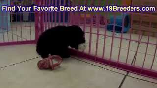 Toy Poodle, Puppies, For, Sale, In, Albuquerque, New Mexico, Nm, Gallup, Carlsbad, Alamogordo, Hobbs