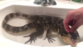 Cute water monitor cuddled up in sink thumbnail