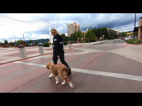 5 month Bernese Mt/Great Pyrenees (Bocephus) | 2 week Graduation| Off Leash K9 Training Spokane Wa|