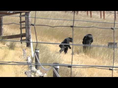 Chimpanzees Alarm Calling and Seeking Reassurance