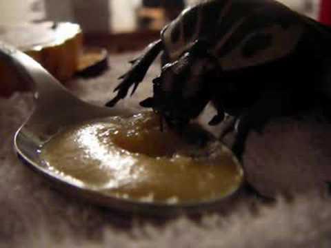 Goliath Beetle Eating Baby Food Youtube