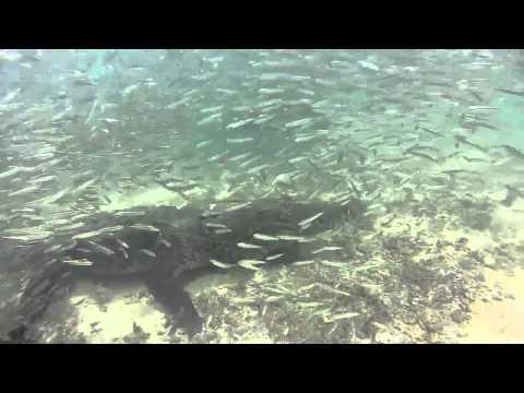 WAPTINY COM   American Crocodile Close Encounter HD   Dry Tortugas National Park