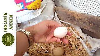 Organik Koşan Tavuk Yumurtası Topladık 😀