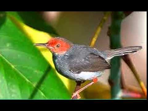 Suara burung prenjak betina, jos untuk masteran
