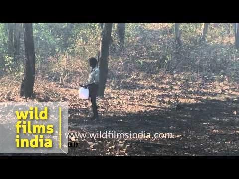 Workers burn dry leaves inside forest: Bandipur National Park, Karnataka