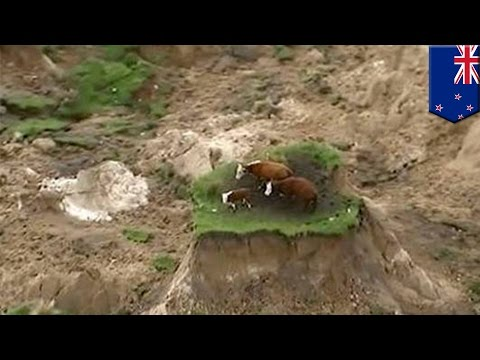 Cows on quake island: New Zealand earthquake leaves three cows stranded on patch of land - TomoNews