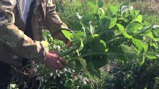 Семена высокобелковой сои НС КАТЯ