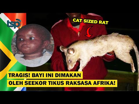 [ENG SUB] Tragic! This Baby Become a Victim of The African Giant Rat Attack